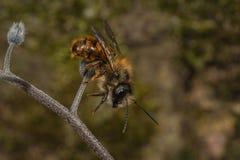 Мужская красная пчела каменщика Стоковое фото RF