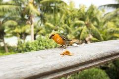 Мужская красная fody птица Foudiamadagascariensis, Сейшельских островов и Мадагаскара Стоковое Изображение