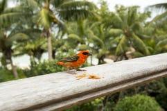 Мужская красная fody птица Foudiamadagascariensis, Сейшельских островов и Мадагаскара Стоковая Фотография RF