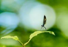 Мужская красотка Jewelwing чёрного дерева с предпосылкой зеленого цвета bokeh Стоковые Изображения RF