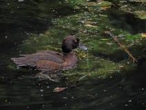 Мужская кряква в пруде Стоковая Фотография RF