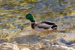 Мужская кряква, испещрянная дикая утка, с лоснистой зеленой головой, коричневый s Стоковые Изображения