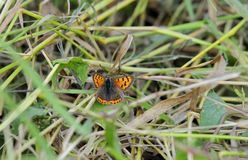 Мужская малая медная бабочка на злаковике берегом Стоковая Фотография RF