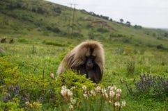 Мужская обезьяна в горах Simien, Эфиопия Gelada Стоковое Фото