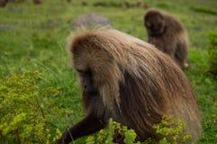 Мужская обезьяна в горах Simien, Эфиопия Gelada Стоковое Изображение