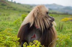 Мужская обезьяна в горах Simien, Эфиопия Gelada Стоковые Фото