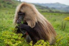 Мужская обезьяна в горах Simien, Эфиопия Gelada Стоковое Изображение RF
