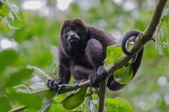 Мужская обезьяна ревуна отдыхая в деревьях Стоковое фото RF