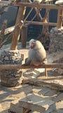 Мужская обезьяна сидит вниз стоковые изображения