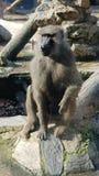 Мужская обезьяна сидит вниз стоковые фотографии rf