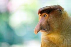 Мужская обезьяна хоботка Стоковые Изображения RF