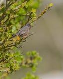 Мужская певчая птица Дартфорда стоковая фотография rf