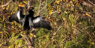 Мужская птица американской змеешейки вызвала американскую змеешейку Американской змеешейки Стоковое Изображение