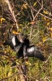 Мужская птица американской змеешейки вызвала американскую змеешейку Американской змеешейки Стоковые Изображения