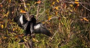 Мужская птица американской змеешейки вызвала американскую змеешейку Американской змеешейки Стоковое Изображение RF