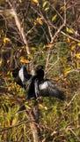 Мужская птица американской змеешейки вызвала американскую змеешейку Американской змеешейки Стоковые Изображения RF