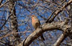 Мужская птица зяблика дома (mexicanus carpodacus) Стоковое Фото