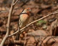 Мужская птица зяблика дома (mexicanus carpodacus) Стоковая Фотография RF