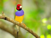 Мужская птица зяблика радуги садилась на насест на ветви, Флориде Стоковая Фотография