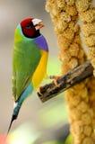 Мужская птица зяблика радуги садилась на насест на ветви, Флориде Стоковая Фотография RF