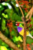 Мужская птица зяблика Gouldian на ветви дерева, Флориде Стоковое фото RF