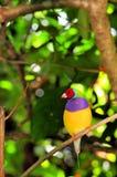 Мужская птица зяблика Gouldian на ветви, Флориде Стоковая Фотография RF