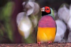 Мужская птица зяблика Gouldian на ветви Стоковые Изображения
