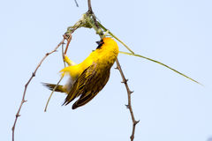 Мужская птица ткача строя гнездо травы в дереве стоковая фотография