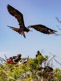 Мужская птица фрегата летает над treetop Стоковые Фотографии RF