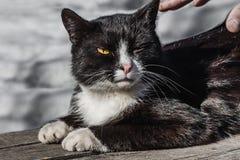 Мужская рука пробуя приласкать черно-белого кота с желтыми глазами и розовым взглядом носа и кормовых стоковое фото