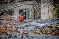 Мужская северная кардинальная птица на Central Park - Нью-Йорке, США Стоковые Фото