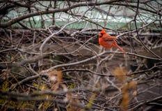 Мужская северная кардинальная птица на Central Park - Нью-Йорке, США Стоковое Изображение RF