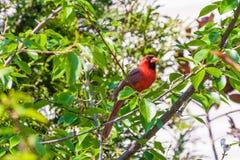 Мужская северная кардинальная птица (cardinalis Cardinalis) Стоковая Фотография