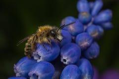 Мужская смуглая Минировани-пчела Стоковые Изображения