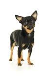 Мужская собака чихуахуа стоковые фотографии rf