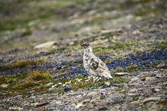 Мужская тундреная куропатка утеса в Свальбарде Стоковая Фотография RF