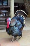 Мужская Турция показывая, полное тело Стоковое Изображение RF