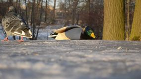 Мужская утка в парке акции видеоматериалы