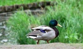 Мужская утка идя на том основании Стоковое фото RF