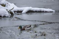 Мужская утка кряквы играя, плавая и squawking на пруде парка города зимы замерли льдом, который стоковое фото rf