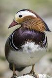 Мужская утка мандарина с поразительным оперением Стоковые Изображения