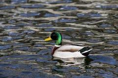 Мужская утка фуражирует в озере Стоковое Изображение RF