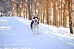 Мужская шелуха outdoors в снежном лесе Стоковое Фото