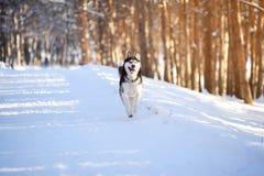 Мужская шелуха outdoors в снежном лесе Стоковая Фотография RF