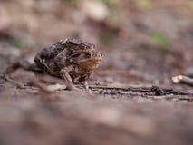 Мужская лягушка нося женщину Стоковое фото RF