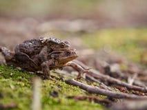 Мужская лягушка нося женщину Стоковые Изображения