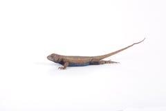 Мужская ящерица загородки Стоковая Фотография