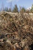 Мужская ящерица песка Стоковое Изображение