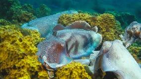 Мужские австралийские гигантские каракатицы защищая его женщину по мере того как она пробует положить ее яйца во время сопрягая с стоковая фотография rf