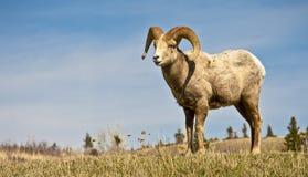 Мужские большие Horned овцы Стоковое Изображение RF